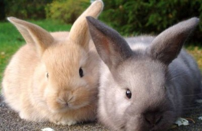 Conigli, Forza Italia vuole vietare macellazione